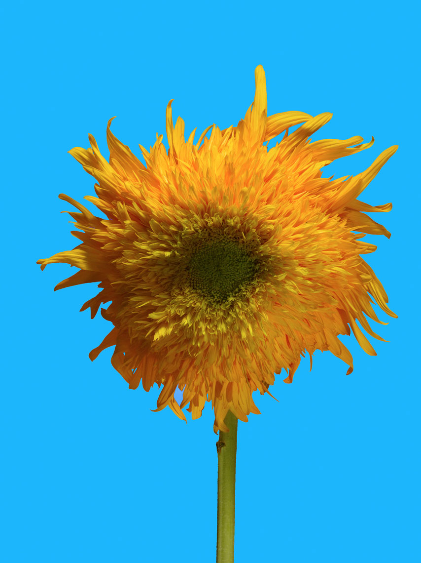 20090716_Sunflower_CU_1a_10_Blue_v1_4sl