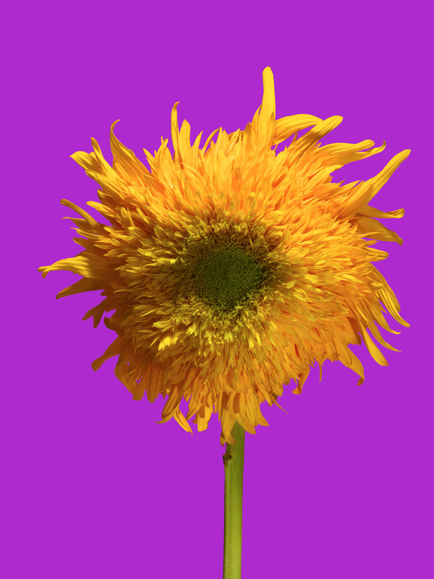 20090716_Sunflower_CU_1a_10_Purple_4sl