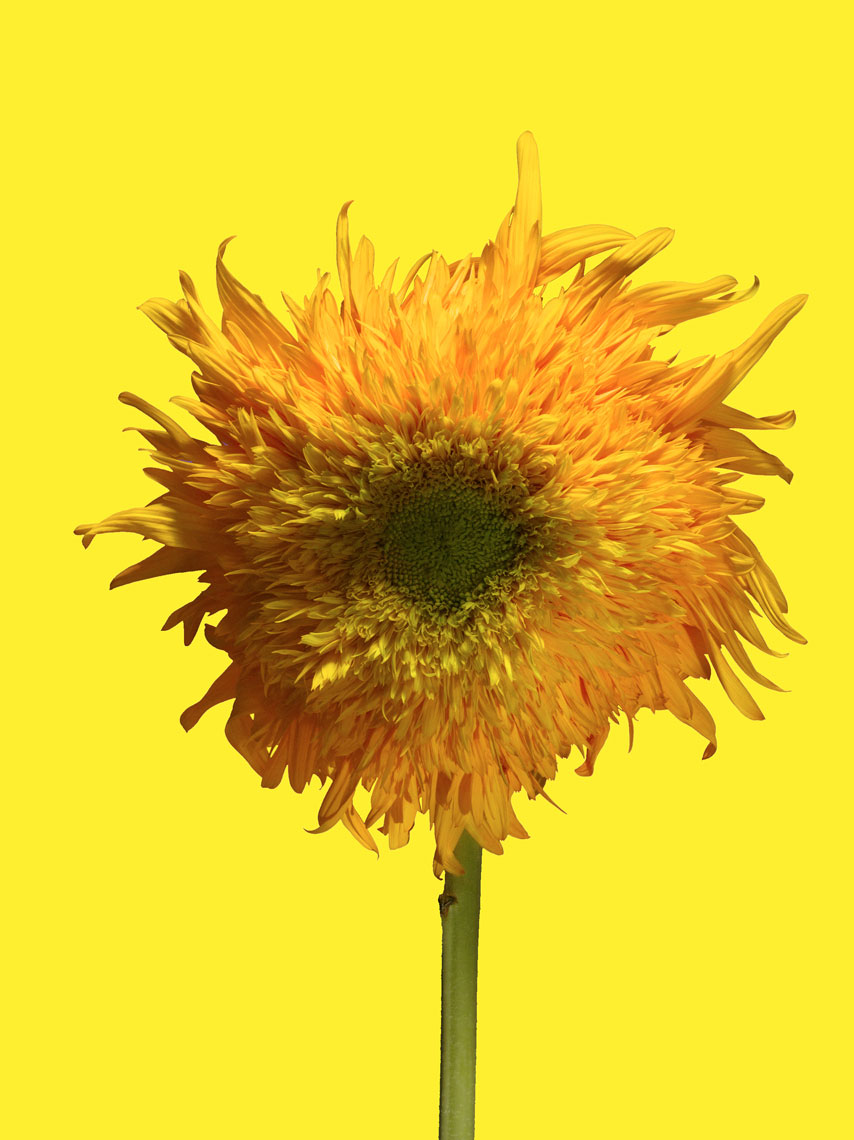20090716_Sunflower_CU_1a_10_Yellow_4sl